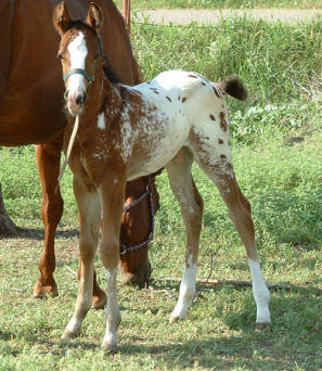 Sooner Appaloosa Horse Club :: Our 2006 Foals   297 x 342 jpeg 35kB